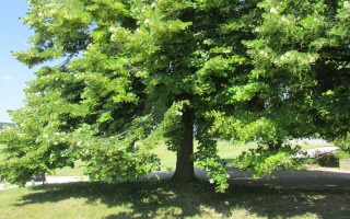 A hársfa illata avagy lelkünk titkos kertjei