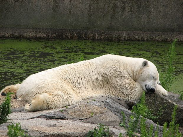 polar-bear-siesta-berlin-zoo