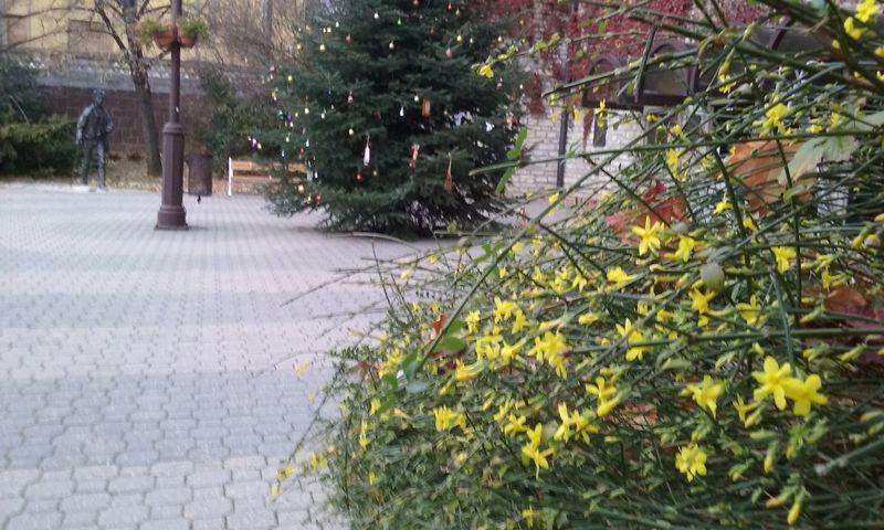Virágzó bokor a karácsonyfa mellett a Petőfi Színháznál