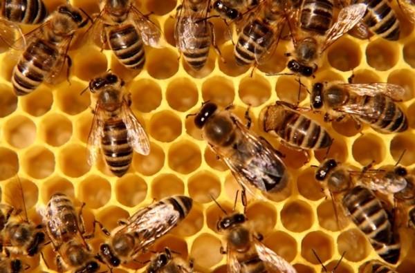 Rendkívül fontos a méhek egészsége. Illusztrációk: internet