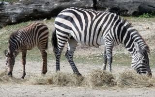 ÁLLATKERT – Jól érzik magukat a zebracsikók