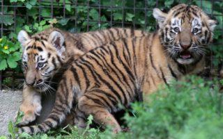 ÁLLATKERT – A  kis tigrisek ismerkednek a kifutóval