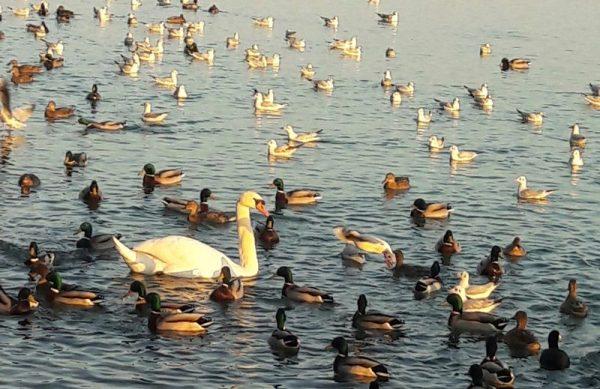 Azok a vadmadarak, melyek átvészelik a betegséget, változó időtartamra ugyan, de védettséget szereznek a madárinfluenza bizonyos szerotípusaival szemben. Fotó: a szerző