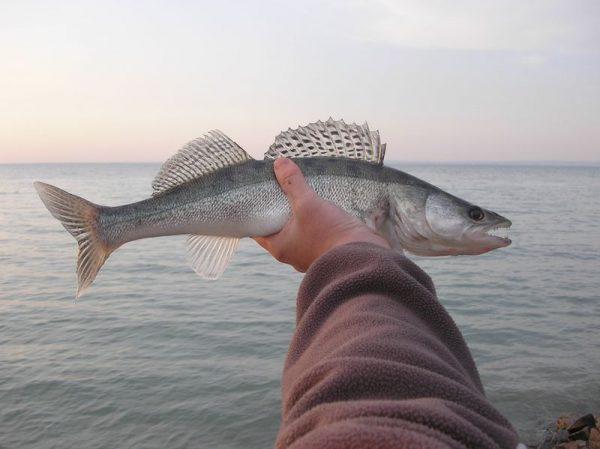 A balatoni hal is a regionális termékekhez tartozik. Fotó: onlinebalaton.hu