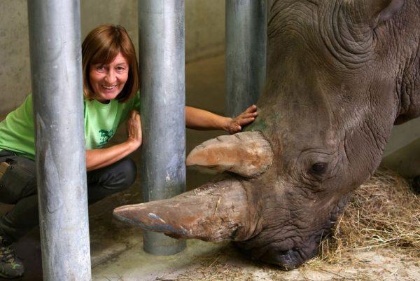 Makoubu néhány napig az új orrszarvúházban tölti idejét. Fotók: veszprémi állatkert