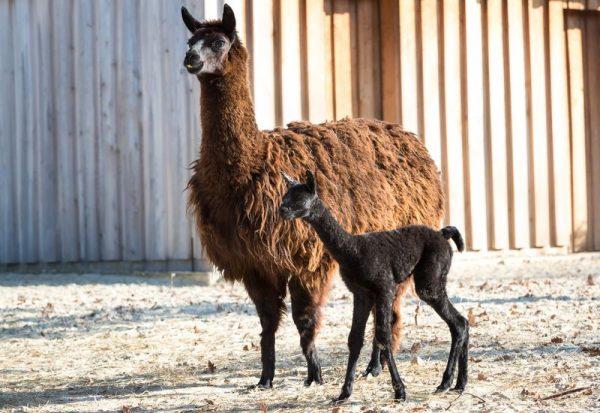 Anya és picinye egy percre sem hagyják el egymást. Fotók: Veszprémi Állatkert