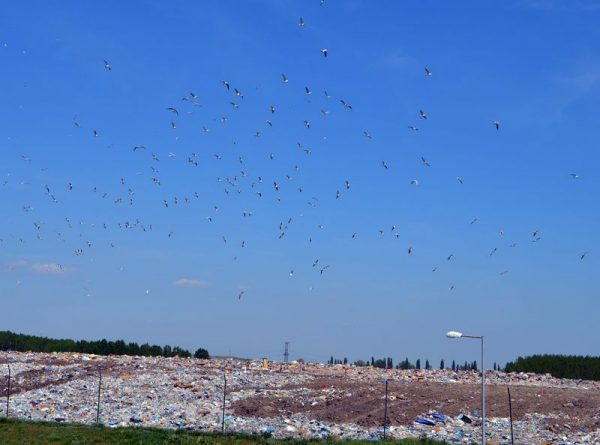 A madarak szerint van szerves hulladék a szeméttelepen