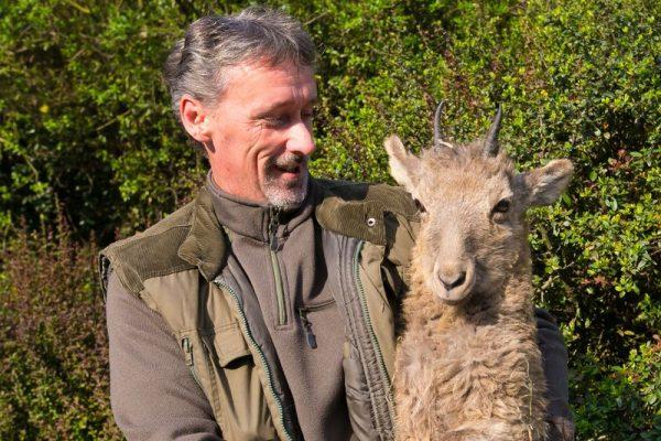 A képen Szabó Zoltán az állatkert főápolója látható az egyik kőszáli kecskével. Fotó: veszprémi állatkert