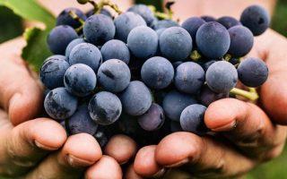 SZŐLŐ – Korábban kezdődik a szüret, jó lesz a termés