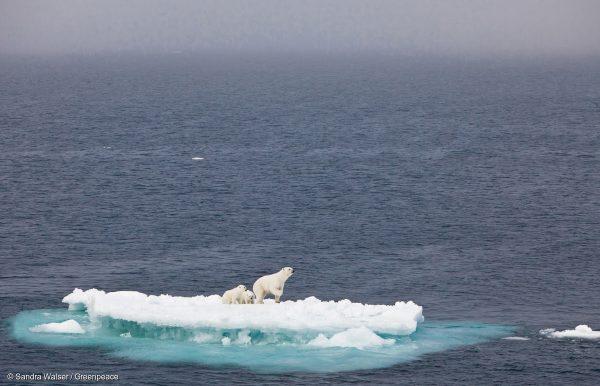 Jegesmedvecsalád egy úszó jégtáblán. Fogy az életterük