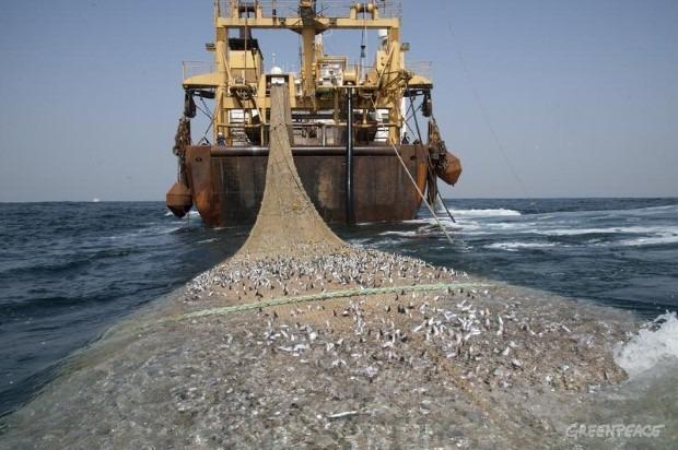A tengerek túlhalászásáról is beszél Jordán Ferenc. Képünk illusztráció. Fotó: Greenpeace