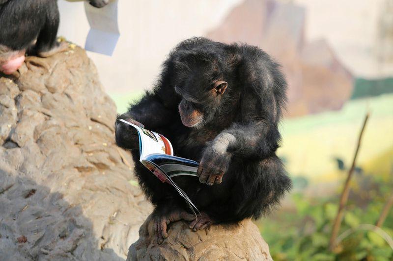 Az év majma a csimpánz. Fotó: Stringer/Imaginechina