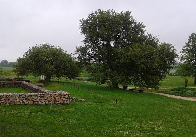 Balácai hársfák. Fotó: a szerző