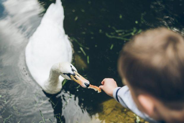 kid feeding swan with bread