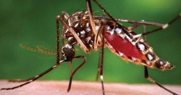 Az Aedes aegypti moszkitó. Fotó: healio.com
