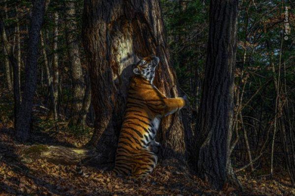 A Wildlife Photographer of the Year nevű természetfotó-verseny legjobbja Szergej Gorskov Az ölelés c. fotója